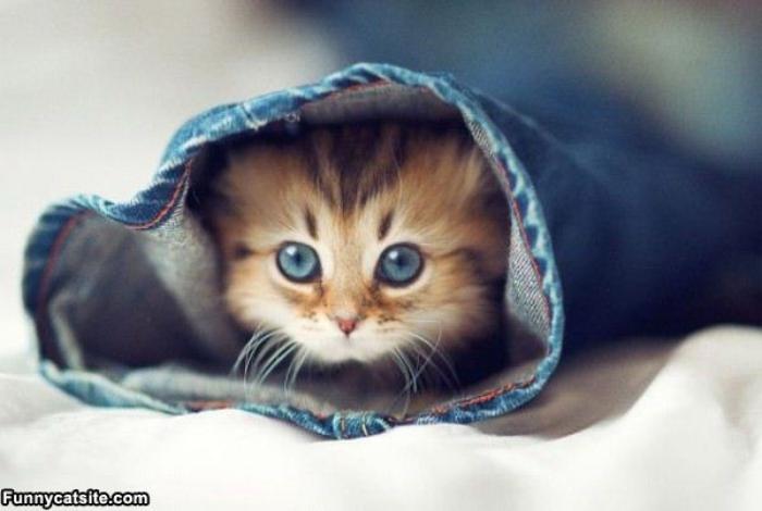 kitten-hiding-in-jeans
