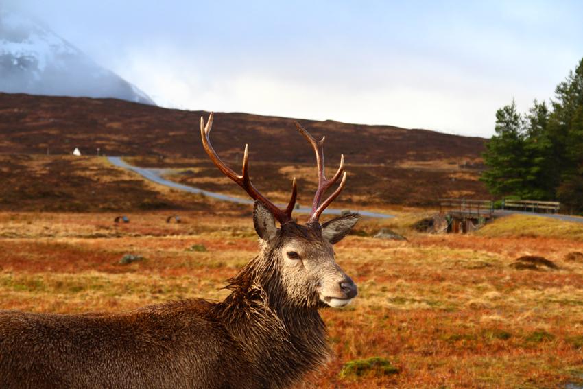 Kingshouse Hotel Glencoe Scotland Red Deer
