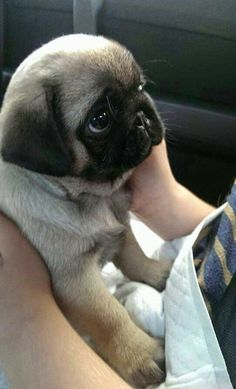 cute_baby_pug