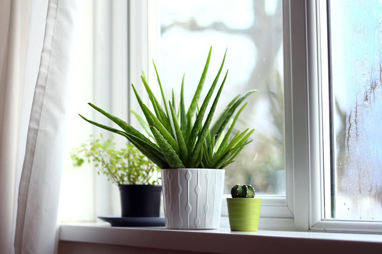 Déco plantes Aloe Vera
